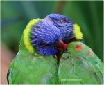 028- Rainbow Lorikeets by SilkenWinds