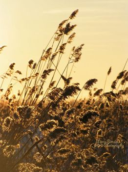 Fields of Gold by Meireis