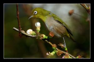 White-eye in the Park 9 by Keith-Killer