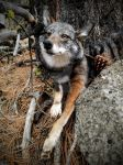 Dark Eastern Coyote by AdarkerNEMISIS