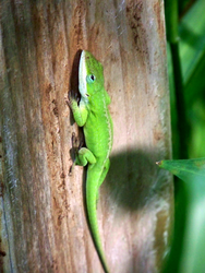 An Anole Lizard Just Hanging Out by UnbridledMuse