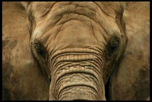 African Elephant by timseydell