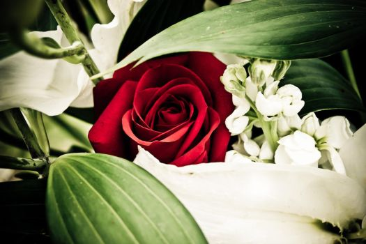 Red Rose by hhjr