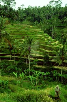 Rice Terrace by pizza4life