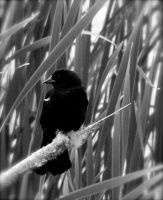 Red Winged Blackbird by ycrad64