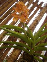 Orchids Stock iv by littlechina