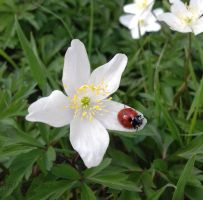 Ladybird and Anemone by ABDCrochet