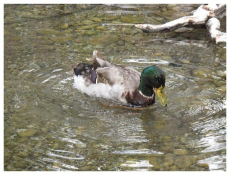 duck duck goose by prey-for-the-weekend