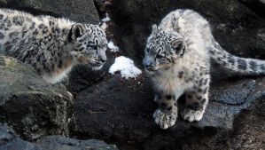 Snow Leopard Stock 39: Cubs by HOTNStock