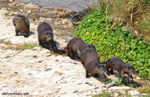 The army of the six otters by jaffa-tamarin
