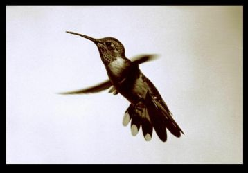 Hummingbird in flight by David-Studio