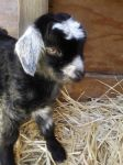 Baby Goat by IsellaHowler