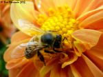 Common Honey Bee Macro II by BreeSpawn