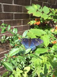 PICTO-Red-Spotted Purple Butterfly by rosa-pegasus