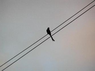 Bird on a wire by Halycon-Thanatos