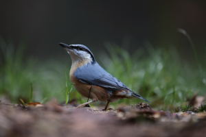 Nuthatch by HammerPhotography
