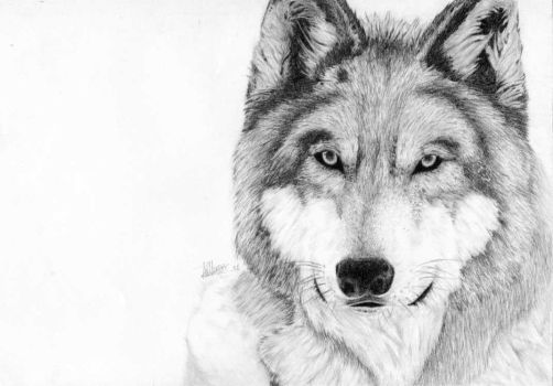 Grey wolf by Laminated-TeabaG