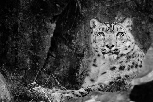 Snow Leopard by Kintarotpc