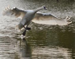 Swans 2014 4 7 by melrissbrook