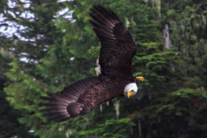 Bald Eagle 1 by Mac-Wiz