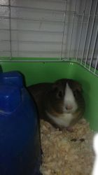 Chillin' Guinea Pig :) by GeineaLombax