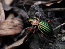 Carabus Auratus by Weissglut