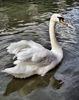 Mute Swan by welshbeck