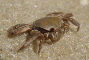Browny the crab by Tomer-DA