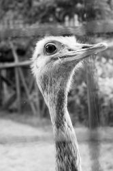 Ostrich by dylanridley