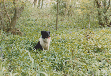 Cleo in Bramingham or Cassiobury 1 by WhippetWild