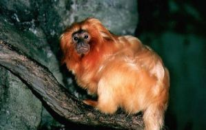 Golden Lion Tamarin 005 by Elluka-brendmer