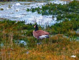 Marsh Goose by wolfwings1