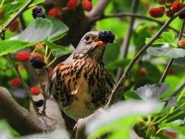 Redwing by GeorgiiZukhar