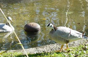 Bar Headed Goose 002 by Elluka-brendmer