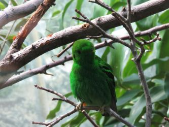 Male Lesser Green Broadbill LPZ by loverofmythology