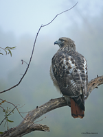 Redtailed Hawk Portrait 3 by Mogrianne
