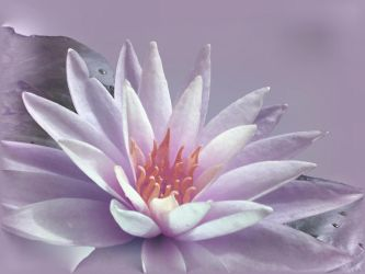 water lily by queeniolanthe