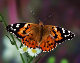 Painted-lady-butterfly by bmsampson1