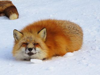 Fox Loaf by SheltieWolf