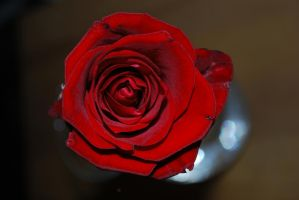 red rose by rybka91