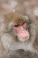 Japanese Macaque by olilamont