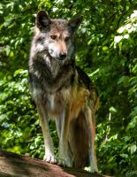 Mexican Wolf Stock: 43 by HOTNStock
