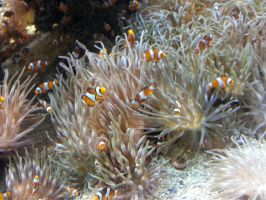 Clownfish everywhere by Guadisaves02