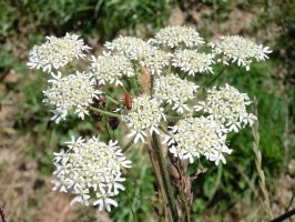 Cow Parsley detail by MakinMagic