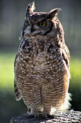 Perched Great Horned Owl by WorldII