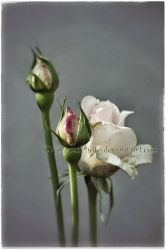 Rose Buds Like a Painting by KWilliamsPhoto
