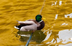 Duck On A Rope by lupiniastudios