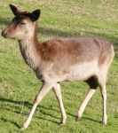 Small Baby Brown Deer 1 by Gracies-Stock