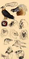 Harpy eagle and Bearded vulture studies by Autlaw