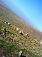 Sheep on a Moutain by A-McQ